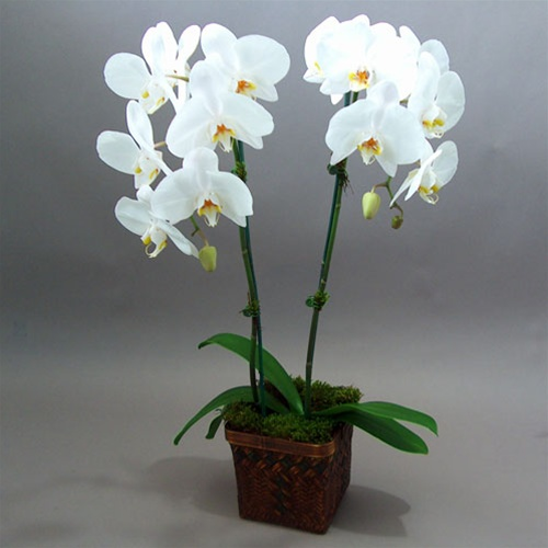 Orchid Plants 2 With Flowers In Special Ceramic Pot
